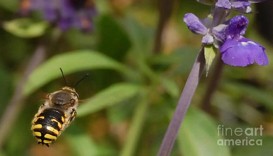 Target In Sight - Honey Bee Photograph