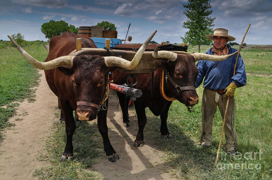 Animals Pulling Wagon : Teamster with team of oxen pulling wagon photograph by