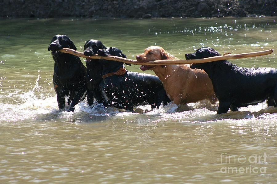 Herd Of Five Working Labrador Retriever Dogs. Hunting Photograph - Teamwork 2 by Shari Morehead