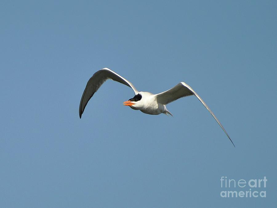 Tern Photograph - Tern Flight by Al Powell Photography USA