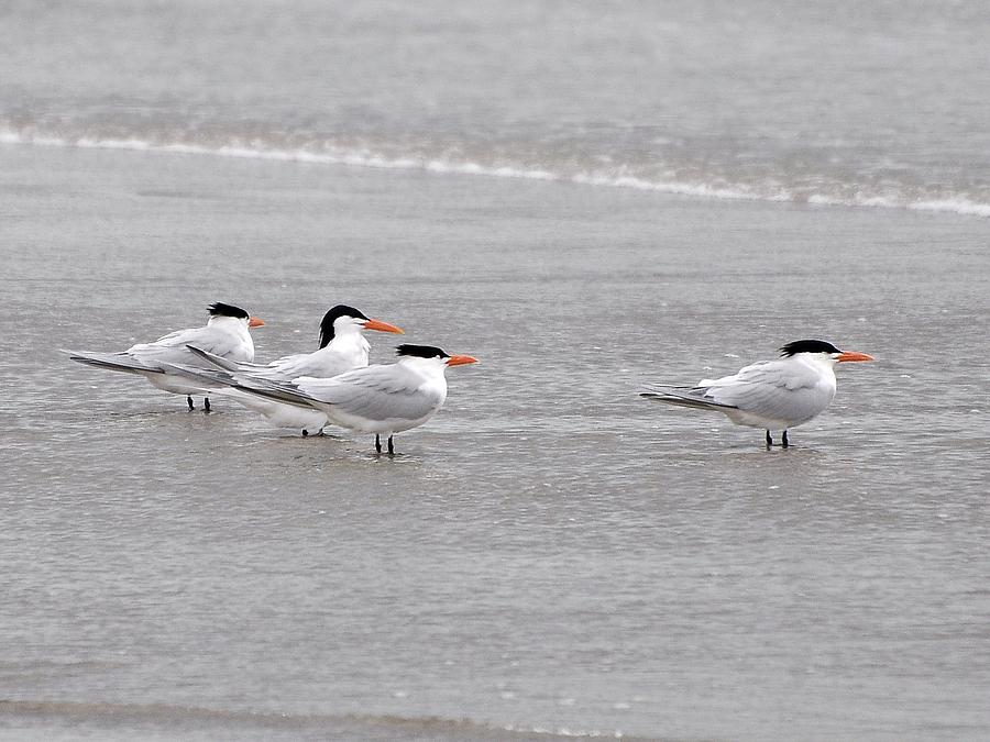 Tern Photograph - Terns Wading by Al Powell Photography USA