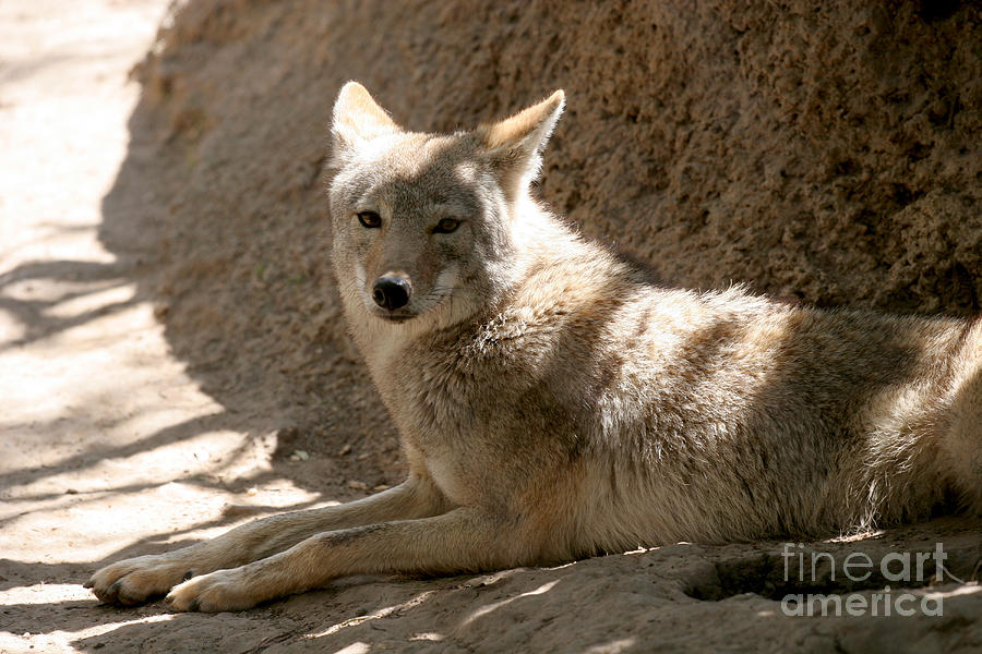 Canis Latrans Texensis Photograph - Texas Coyote by Jeannie Burleson