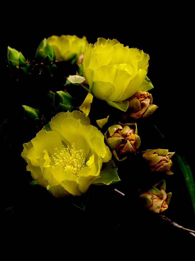 Cactus Flower Bloom Photo Photograph - Texas Rose Vii by James Granberry