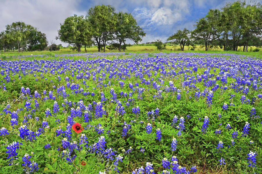 Wildflowers Photograph - Texas Spring  by Lynn Bauer