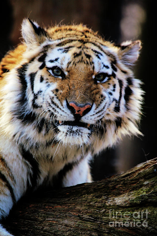 Tiger Photograph - That Tiger Look by Karol Livote