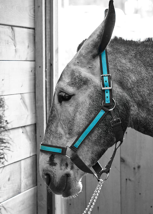 Mule Photograph - The Blue Mule by Edward Myers