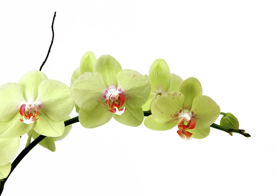 Horizontal Photograph - The Branch Of A Flowering Orchid by Nicholas Eveleigh