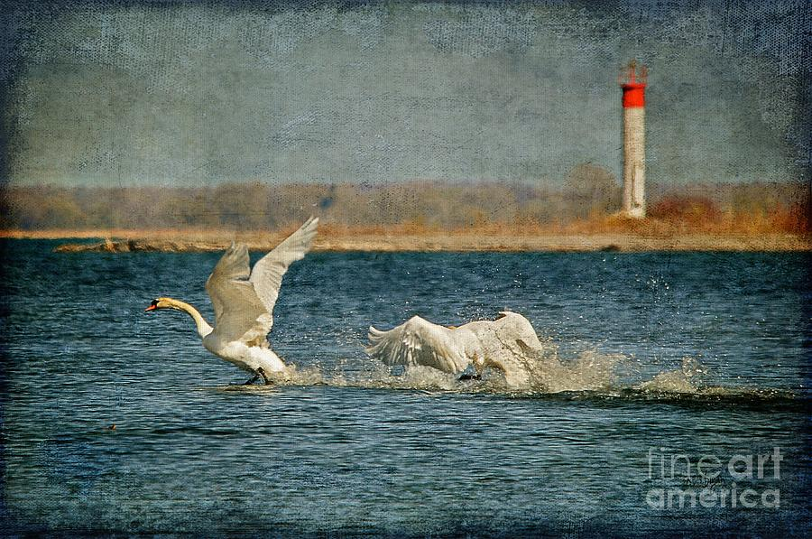 Swan Photograph - The Chase Is On by Lois Bryan