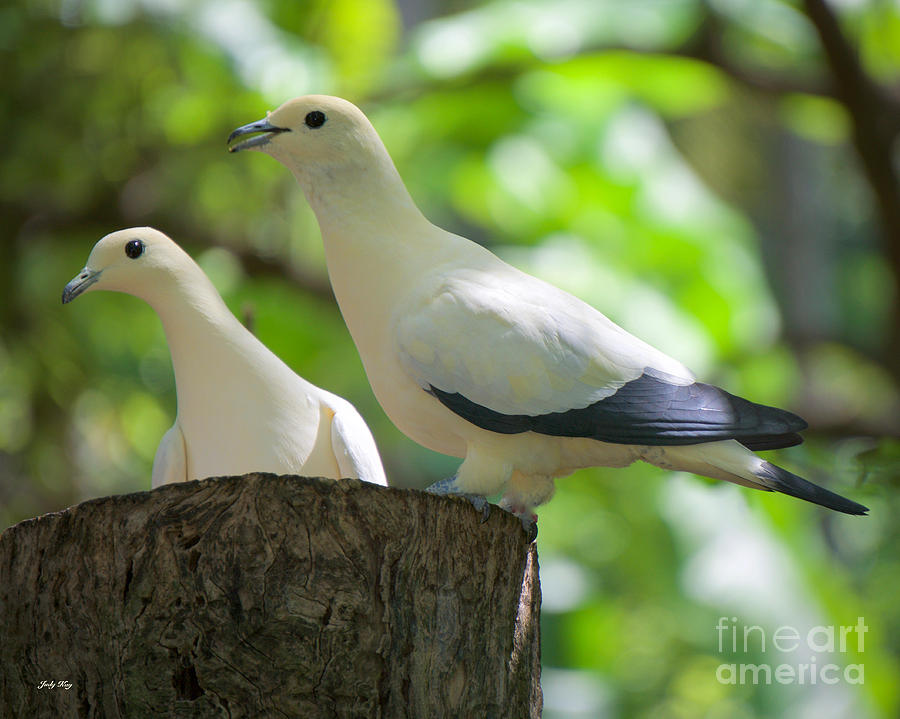 Pigeon Photograph - The Duet by Judy Kay