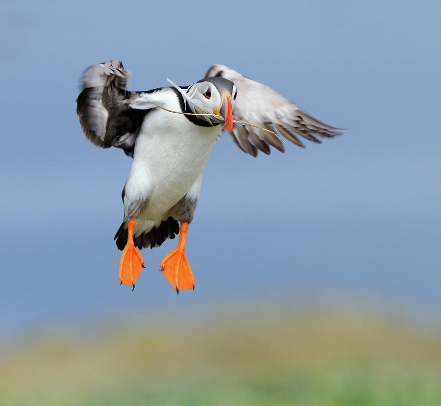 Atlantic Puffin Photograph - The Feather by Harry Eggens