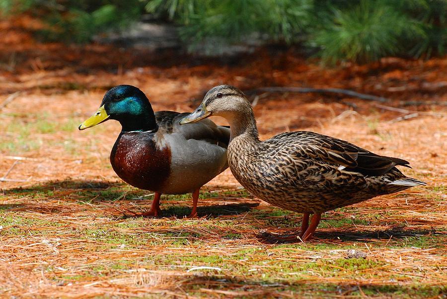 The Honeymooners - Mallard Ducks  Photograph