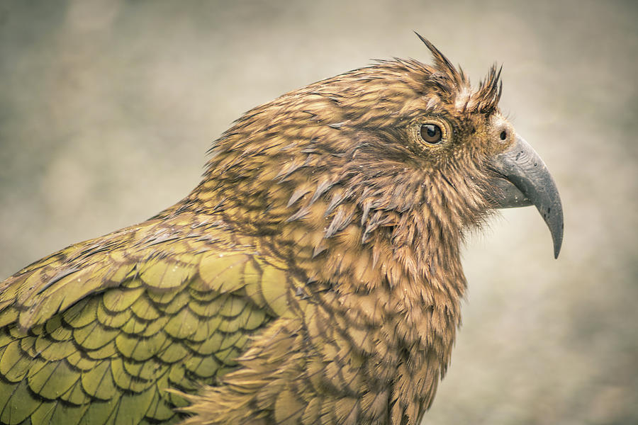 The Kea Photograph