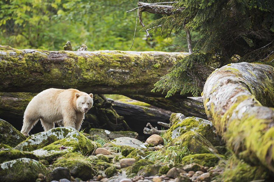 The Kermode Bear Ursus Americanus is a photograph by Daisy Gilardini ...