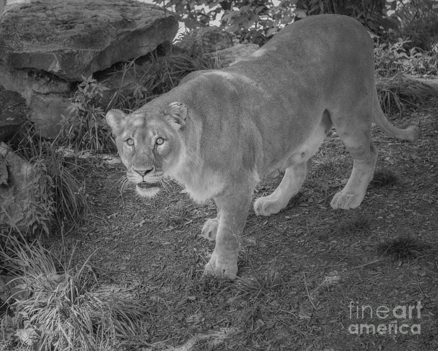 The Lioness In Black And White Photograph by Anne Warfield