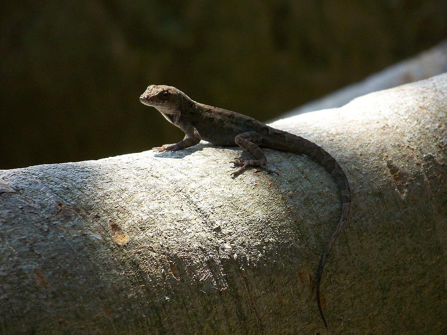 Lizards Photograph - The Lone Lizard by Amanda Vouglas