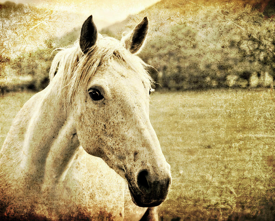 Horse Photograph - The Old Grey Mare by Meirion Matthias