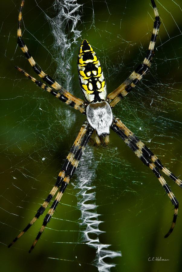 Spider Photograph - The Original Zig-zag Stitch by Christopher Holmes