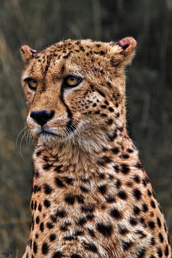 Big Photograph - The Pensive Cheetah by Chris Lord