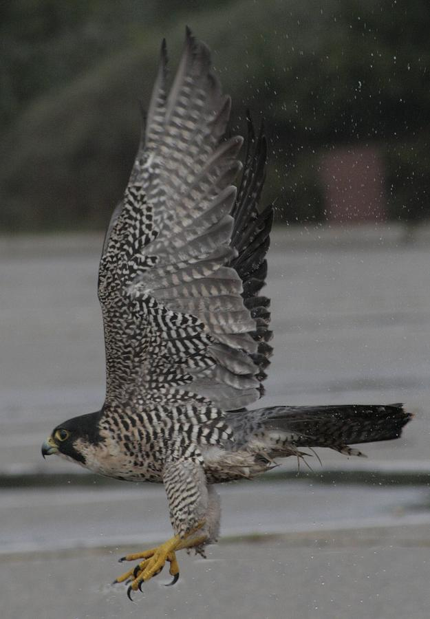 Peregrine Falcon Photograph - The Peregrine Falcon by Christopher Kirby
