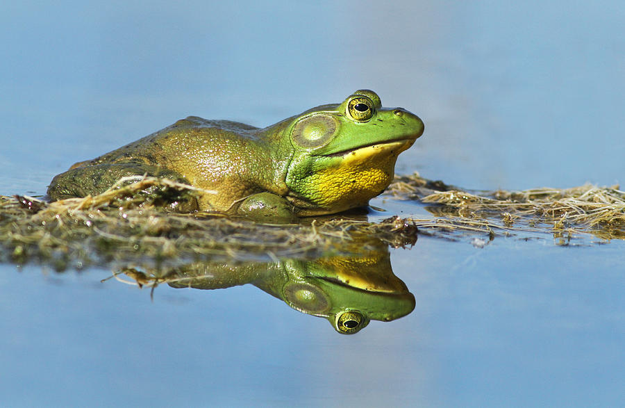 Frog Photograph - The Pond King by Mircea Costina Photography