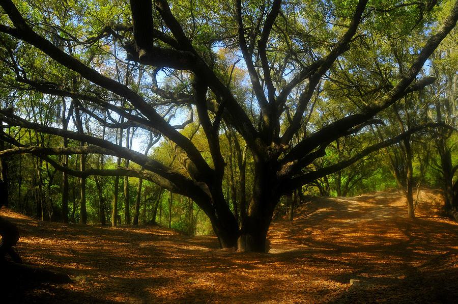 Live Oak Tree Photograph - The Sacred Oak by David Lee Thompson