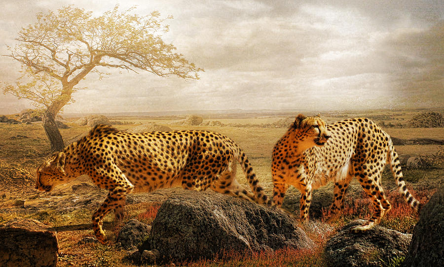 Cheetah  Photograph - The Search For Tomorrow by Trudi Simmonds