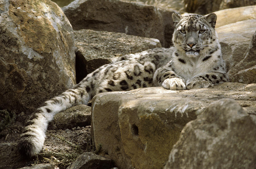 Snow Leopard Photograph - The Watchful Stare Of A Snow Leopard by Jason Edwards