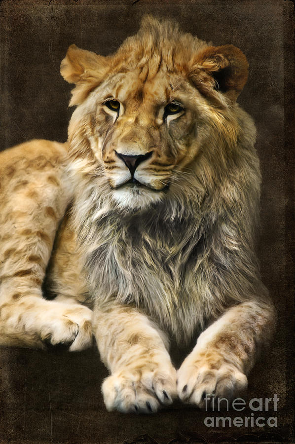 Lion Digital Art - The Young Lion by Angela Doelling AD DESIGN Photo and PhotoArt