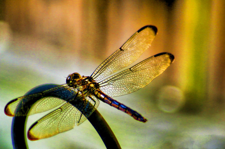 The Most Beautiful Iridescent Creatures! | Petite Girls Guide |Iridescent Dragonflies