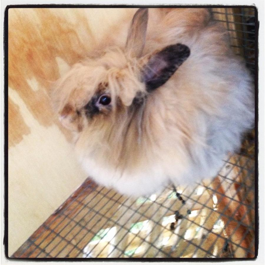 this is the fluffiest bunny ive ever photograph by maggie