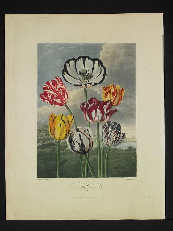Dr.robert John Thornton (british Photograph - Thornton - Tulips by Pat Kempton