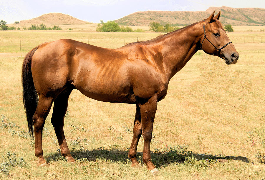 Photo Of Thoroughbred Horse Photograph - Thoroughbred From Right Side by Cheryl Poland