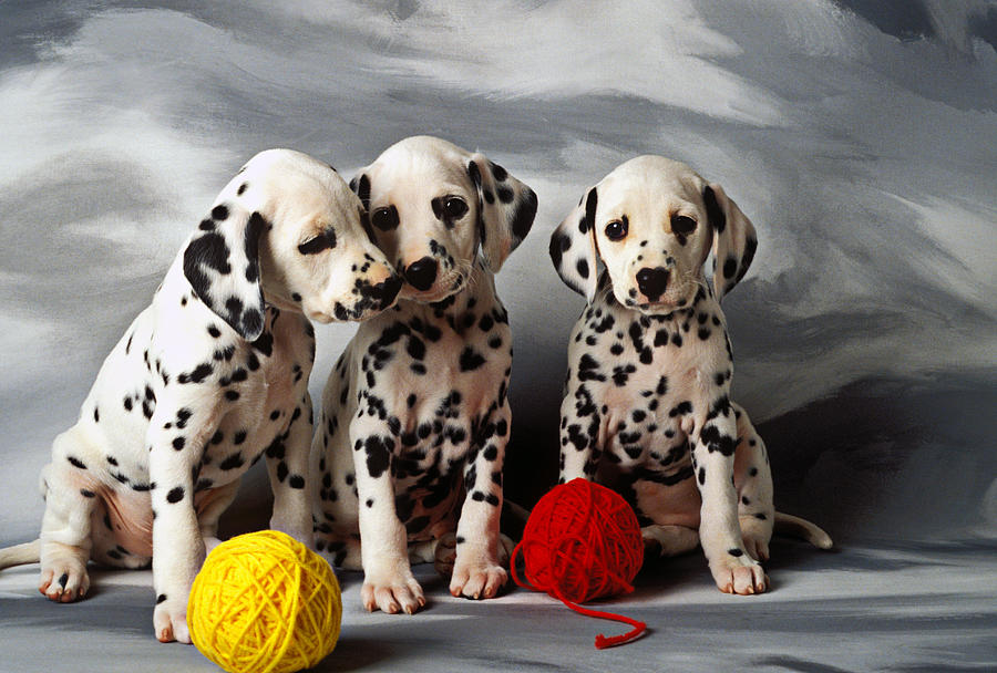 Dalmatian Puppies Three Puppy Dalmatians Pet Pets Animal Animals Dog Dogs Doggy Sit Sits Sitting Young Pedigree Canine Domestic Domesticated Purebred Purebreed Breed Gray Background Vertical Color Colour Colors Canines Calm Cute Hound Hounds Innocence Spot Spots Companionship Together Togetherness Photograph - Three Dalmatian Puppies  by Garry Gay