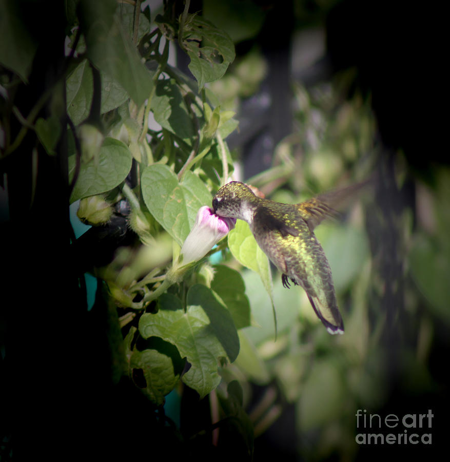 Small; Young; Flying; Wings Spread Out; Mid Flight; Hummingbird; Bird; Tiny; Nature; Photography; Cathy Beharriell Photograph - Through Garden Gates  by Cathy  Beharriell