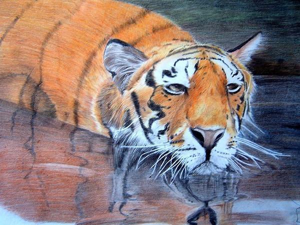 Tiger Drawing - Tiger by Fabio Turini