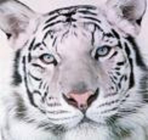 Tiger Photograph - Tiger Smiles by Robert Martin