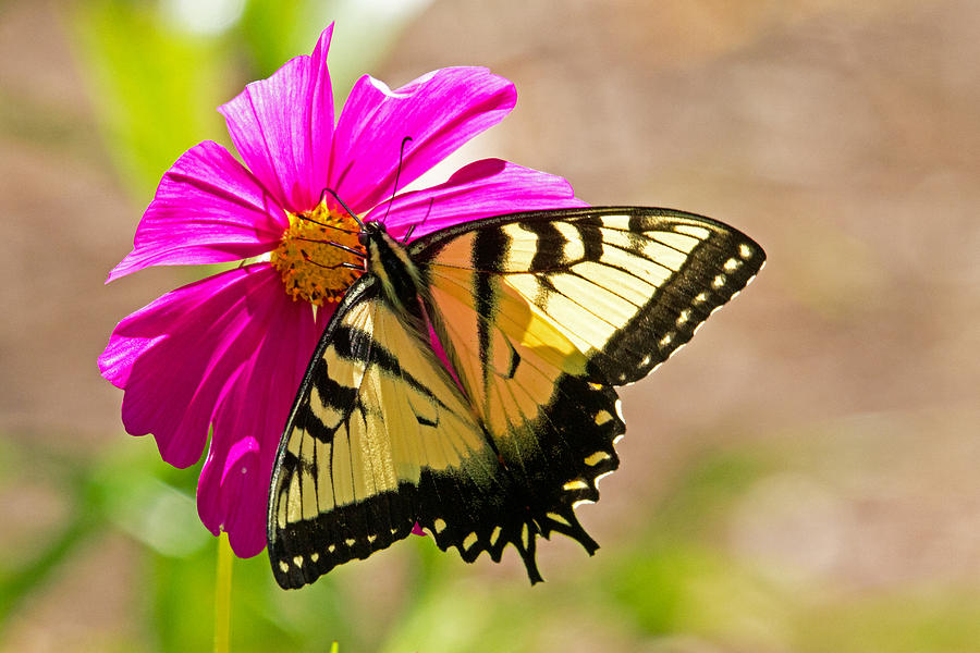 Butterfly Photograph - Tiger Swallowtail Butterfly. by David Freuthal