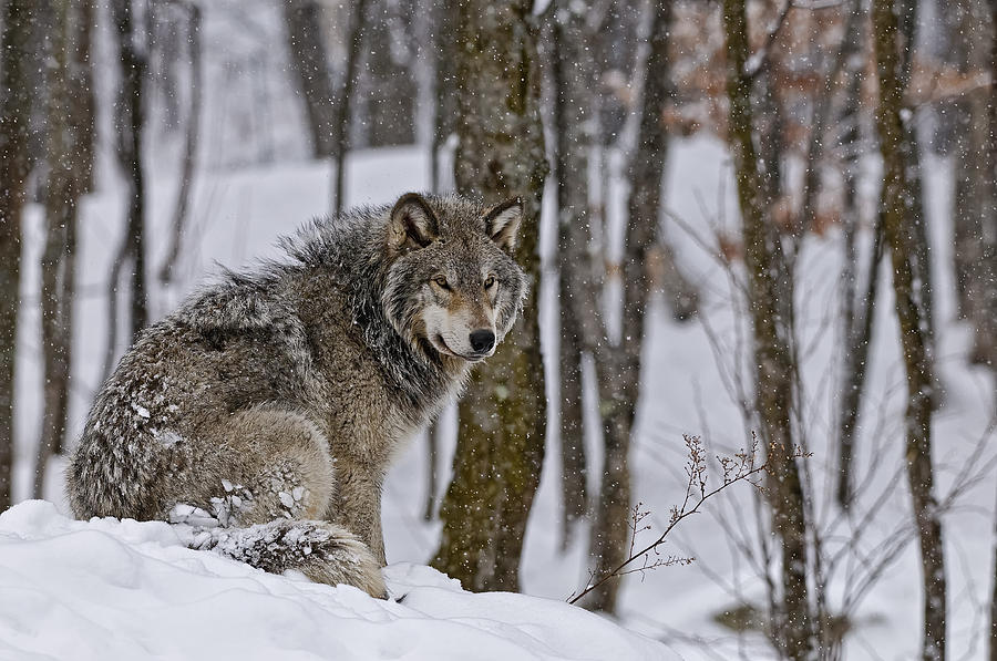 Michael Cummings Photograph - Timber Wolf In Winter by Michael Cummings