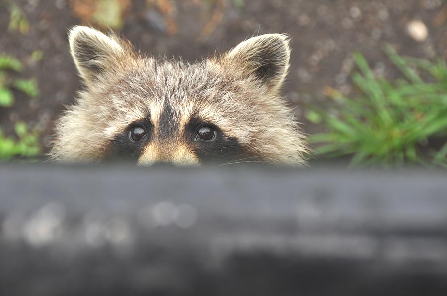 Raccoon Photograph - Time Bandit by Marie  Gale