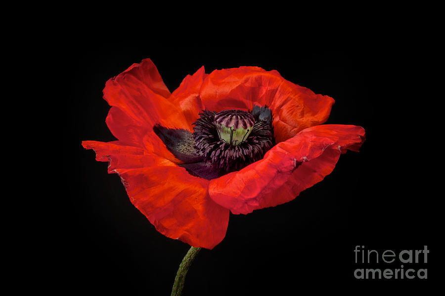 Red Oriental Poppy Photograph - Tiny Dancer Poppy by Toni Chanelle Paisley
