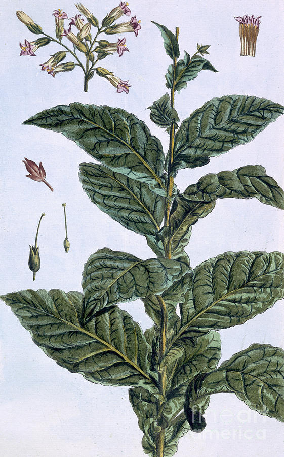 Colonial tobacco plant drawing
