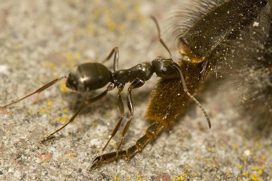 Ant Photograph - Too Big Catch by Jouko Mikkola