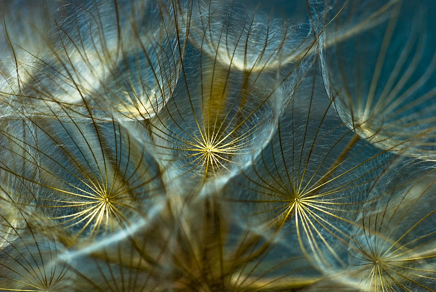 One Line Macro Art : Translucid dandelions photograph by iris greenwell