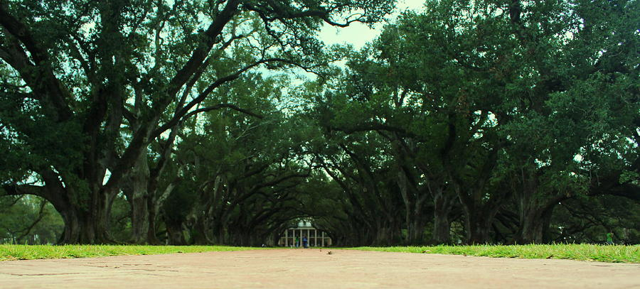 Tree lined path of oak alley plantation in louisiana is a photograph