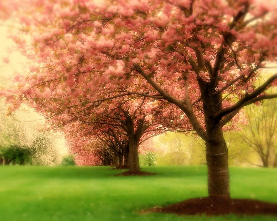 Cherry Blossoms Photograph - Trees In A Row by Angie Tirado
