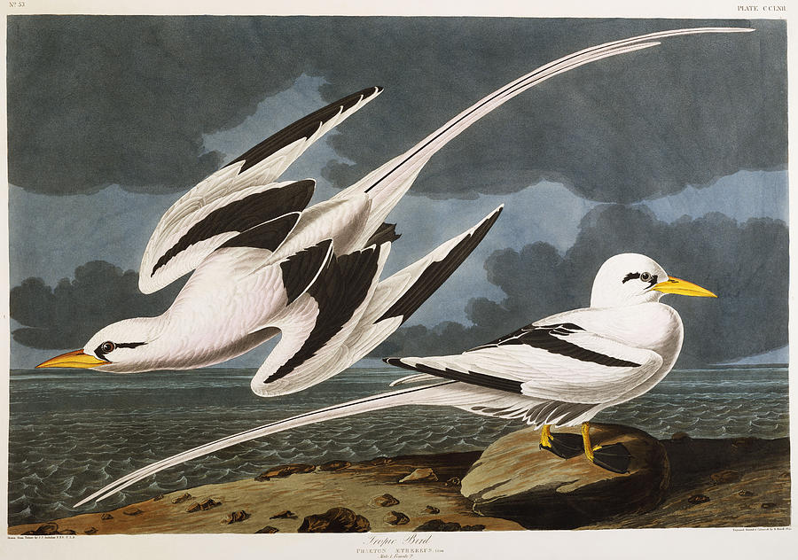 Tropic Bird (phaeton Athreus) Plate Cclxii From 'the Birds Of America' (aquatint & Engraving With Hand-colouring) By John James Audubon (1785-1851) Painting - Tropic Bird by John James Audubon