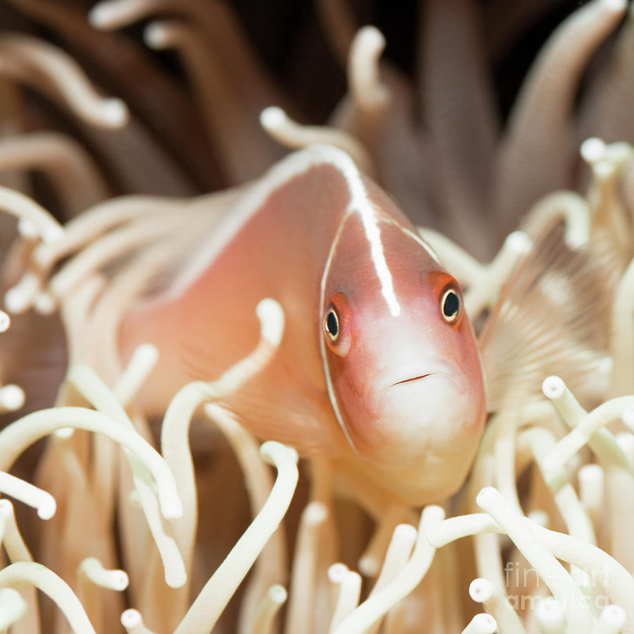 Tropical Fish Pink Clownfish Photograph