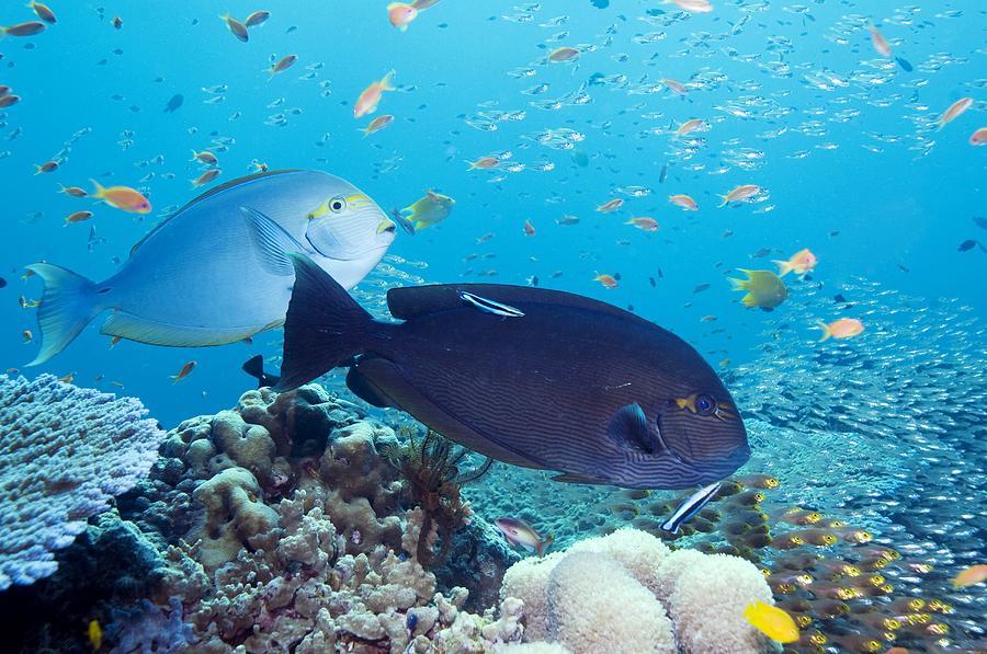 Acanthurus Mata Photograph - Tropical Reef Fish by Georgette Douwma