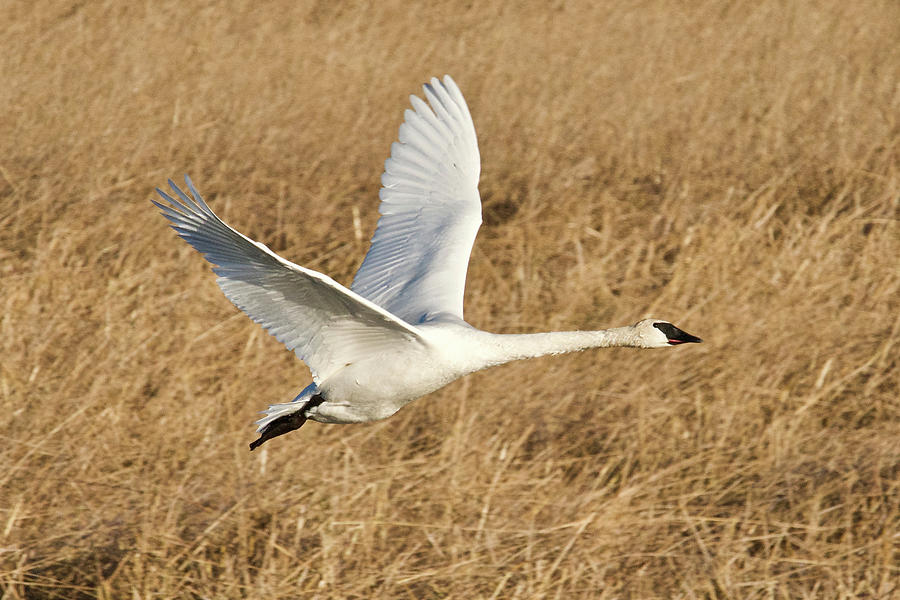 Trumpeter Swan 0996 Photograph