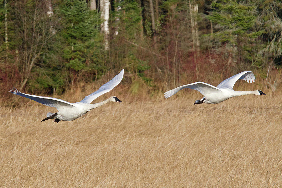 Trumpeter Swans 0994 Photograph